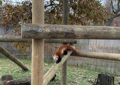 Potawatomi Zoo Red Panda Exhibit
